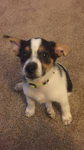 Do Pocket Puggles Shed by My Jack Russell Pomeranian Beagle Mix Cuties Pinterest