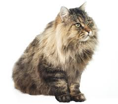 Siberian Cat Hair Shedding by Long Haired Cats You Probably Didn U0027t Know About