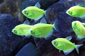 Friday Smorgasbord Mutant GlowFish epidemic Petco releases