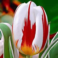 meanwhile in canada on plant special canada 150 tulip