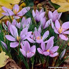 saffron crocus bulbs crocus sativus american