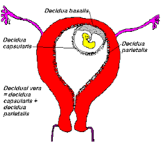 Shedding Of The Uterine Lining Is Called 12 shedding of the uterine lining is called september 2011