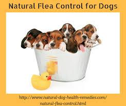 Homemade Flea Powder For Carpet by Natural Flea Control Get Rid Of Dog Fleas Naturally