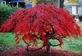 Trees To Plant In Your Yard Southeastern Growers Inc Dwarf Weeping Japanese Maple