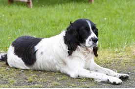 Springer Spaniel Shed Hunting by A Wonderful List Of Dog Breeds That Are Easy To Train