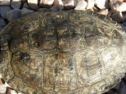 Turtle Shell Not Shedding by Redearslider Com View Topic The Winter Pond For Timmy Not