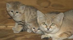 cats for sand cat zooborns