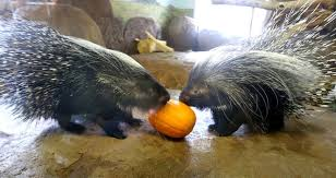 Porcupine Eating A Pumpkin Youtube by Hogle Zoo Animals Enjoy Their Own Feast On Thanksgiving Ksl Com