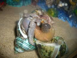 Do Hermit Crabs Shed Their Body molting u2013 krabitat