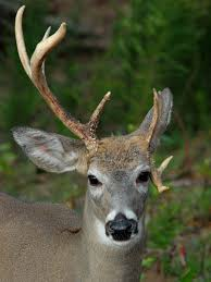 When Do Whitetails Shed Their Antlers by What Biologists Know About The Facts And Myths Concerning Buck