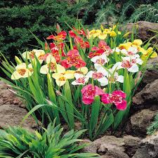 tigridia pavonia mix 20 flower bulbs buy order yours now