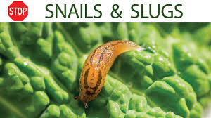 How To Control Snails & Slugs In Your Garden - 5 EZ Organic ... Slug Control How To Get Rid Of Garden Slugs Snails Saga Remind Me Stay Away From Australia To Laugh Or Not Snail Made By Tss Gpa With Old Wheel Better Than Weeds And New Hampshire Garden Solutions Metal Yard Stake Gs31 Oregardenworks Home Alluring Zen Style Excellent Modern Design How Use Beer Get Rid Snails In Your 9 Steps In The On Wooden Background Stuck Out Snakilling Worm Invades Us Mainland Science Aaas Best 25 Ideas On Pinterest Snail Sculpture Marbles Have Teeth Lots Tiny Insanely Hard Factorialist