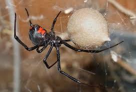 Medically Significant Spider Bites: Keys To Diagnosis And Treatment Spiders At Spiderzrule The Best Site In World About Spiders 5 Venomous Found Colorado Outthere 109 And Webs Images On Pinterest Nature Ohios Biting Spidersrule The Barn Spider Pets Cute Docile Bug Eric Sunday Western Spotted Orbweaver Araneus Gemmoides Wikipedia Poisonous Georgia
