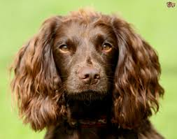 Welsh Springer Spaniel Shedding by Field Spaniel Dog Breed Information Buying Advice Photos And