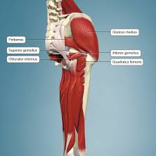 Pelvic Floor Muscle Spasm by Anatomy Of An Injury Piriformis Syndrome Article Ptonthenet