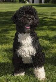 Hypoallergenic Dogs That Dont Shed Much by Not So Hypoallergenic Dogs The Bark
