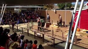 Underwood Pumpkin Patch Moorpark by Pig Races At Underwood Family Farms Youtube