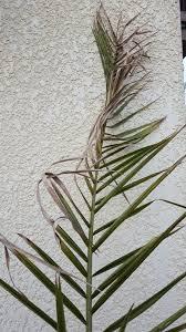 entretenir un palmier en pot en hiver plantes et jardin de ville