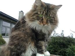 Siberian Cat Hair Shedding by Norwegian Forest Cat Is A Breed Of Domestic Cat Originating In