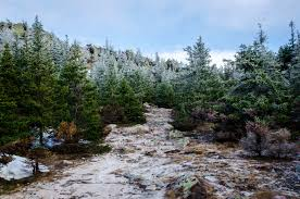Fraser Christmas Tree Care by Colorado Blue Spruce Christmas Tree Archives Fielding Tree And