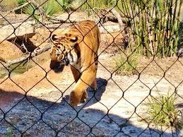Dessin Tigre 3 FACILE Comment Dessiner Un Tigre FACILEMENT Etape