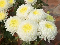 97 best Crisantemos images on Pinterest
