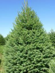 Christmas Tree Species by Christmas U2014 Handy Andy U0027s Nursery