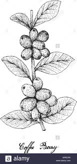 Tropical Fruits Illustration Of Hand Drawn Sketch Ripe Coffee Berries Or Coffea Arabica On Tree Branch Isolated White Background Used To M