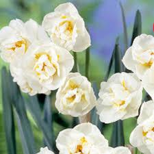 daffodil bulbs bridal crown 5 pk crgardencentre