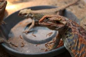Bearded Dragon Heat Lamp Went Out by Bearded Dragons The Reptile Times