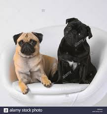 Pug (Canis Lupus F. Familiaris), Two Pugs Together In A Noble Dog ... Faux Suede Pet Fniture Covers For Sofas Loveseats And Chairs Comfort Research Big Joe Bagimals Dawson The Dog Bean Bag Armchair Shih Tzu Lap On The Stock Photo Image 350298 Dog Cat Chamomile Amazoncom Sure Fit Quilted Throw Sofa Slipcover Taupe King Sitting His Throne 1018169 Shutterstock Antique Asian Chair Chinese Export Wood Carved Dragon Lion Foo Me My Dogcat Fold Out Bed With Protector Available In Dogs Amazoncouk Boxer Destroyed A Leather Armchair Alone At Home Damaged Hound Buttonback Occasional Loaf