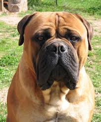 Do Bullmastiffs Shed A Lot by The Laziest Dog Breeds In The World They Are Really Lazy Page