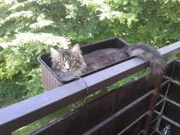 Do Maine Coons Shed In The Summer by June 2015 Featured Coonies