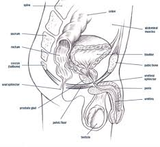 Muscles Of The Pelvic Floor Male by Male Pelvic Pain Pelvicsanity