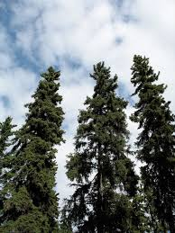 Best Type Of Christmas Tree Stand by Picea Glauca Wikipedia