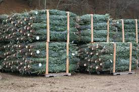 Fraser Fir Christmas Trees Care by Tips And Information Carolina Fraser Fir Company