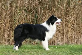 Do Blue Heeler Border Collies Shed by Border Collie Dog Breed Information Buying Advice Photos And