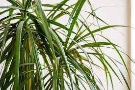 palme aufpäppeln so retten sie verkümmerte palmen