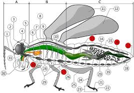Color Diagrams Of Insect Organs And Internal Structures