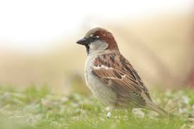 Why Aren't House Sparrows As Big As Geese? Best 25 Sparrow Bird Ideas On Pinterest Sparrows Small Sparrow Pretty Birds House Urban Noise Killing Baby House Sparrows Bbc News Bird Sing Pennsylvania Barn Golondrina Canto Swallow Mike Powell Wedding Venue The White 23 Best Event Space Barn Images Weddings Tattoos By Chronoperates Deviantart For The Barn Wedding Dallas Planner Grit Baby Puffcat