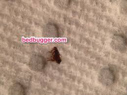 Fleas or bed bugs