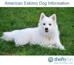 Toy American Eskimo Dog Shedding by 65 Best American Eskimo Friends Images On Pinterest Cute Pets
