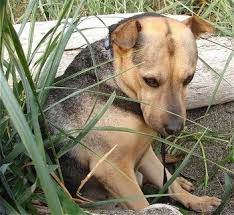 Do Shar Pei Lab Mix Shed by Mixed Breed Dog Pictures With Bios 36