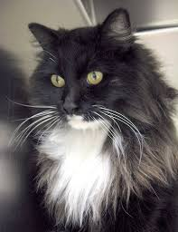 haired cat best 25 haired cats ideas on kitty cats