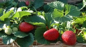 Types Of Pumpkins Grown In Uganda by Strawberry Farming In Kenya Softkenya Com