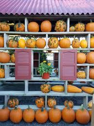 Pumpkin Picking Nj by Pick Your Own Pumpkin U2014 Country Barn