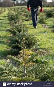Nordmann Fir Christmas Tree Nj by 100 Nordmann Fir Christmas Tree Hicks Christmas Tree U0027s