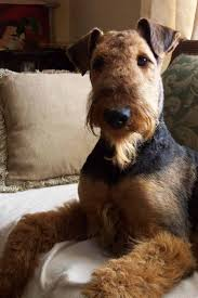 Bed And Biscuit Sioux City by 135 Best Hank U0027s Page Images On Pinterest Dogs Airedale Terrier