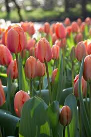 what makes darwin hybrid tulips special