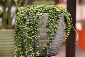hängende zimmerpflanzen 25 hängepflanzen für büro und